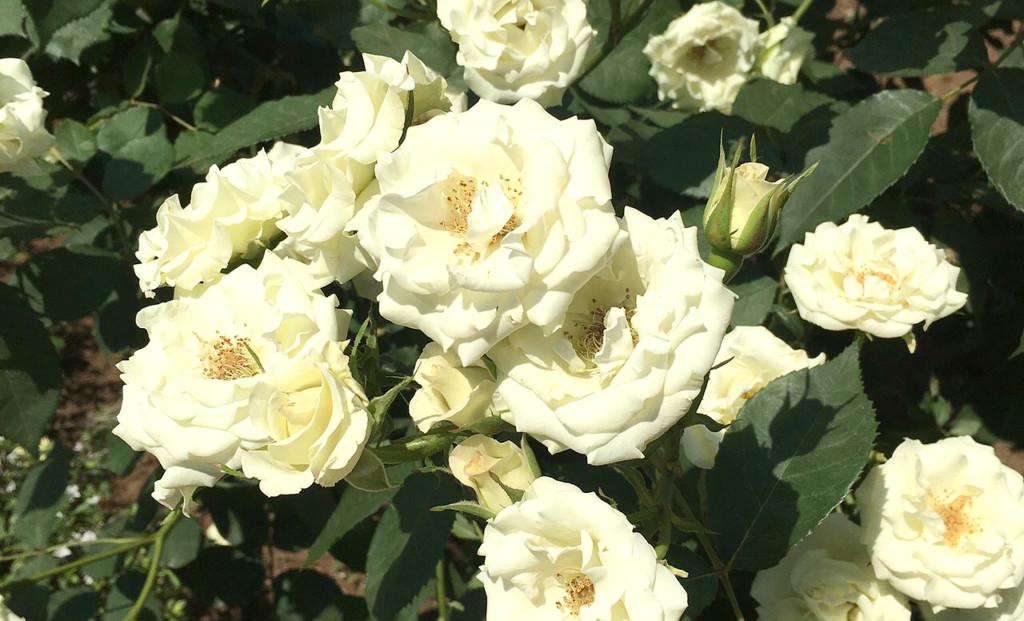 バラ 白 花 ばら 薔薇 バラ園 庭園 洋風庭園