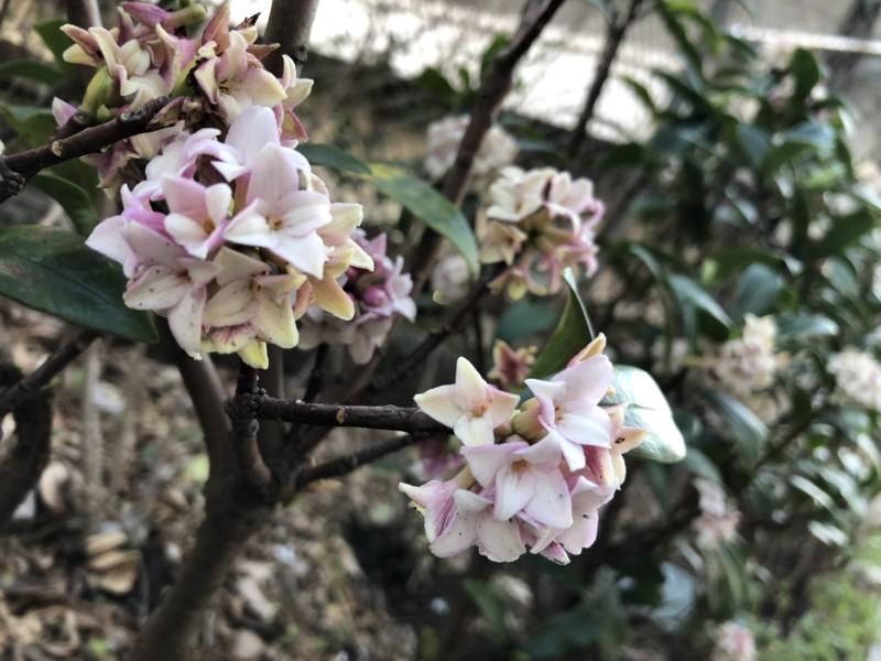 香源 銀座本店前に咲いた沈丁花