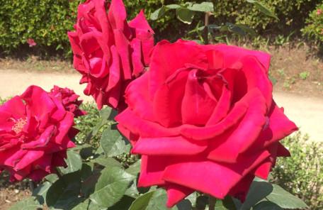 旧古川庭園の赤薔薇